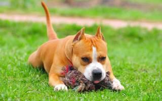 Воспитание и дрессировка амстаффа: как воспитывать щенка стаффордширского терьера