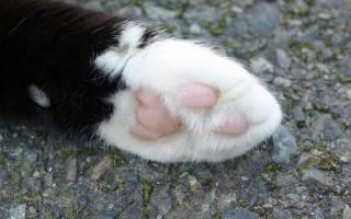 Лапки кошки, кота и котенка: как устроены, могут ли кошки потеть через лапки