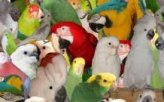 Декоративные птицы: 10 лучших видов для домашнего содержания, описание и стоимость