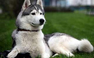 Восточно сибирская лайка: описание породы собак, стоимость щенков
