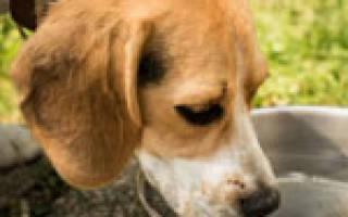 9 причин, почему собака много пьет воды: возможные заболевания