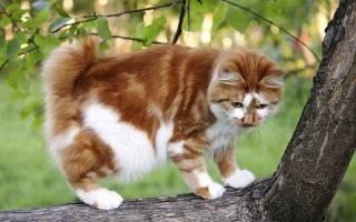 Японский бобтейл: описание и характеристики породы кошек