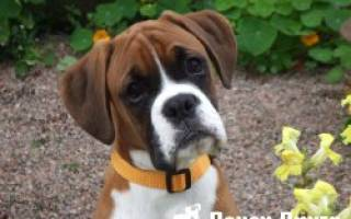 Списко 6 пород собак брахицефалов: описание и болезни