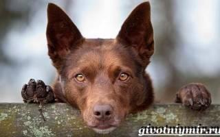 Австралийский келпи: описание породы собак и стоимость щенков