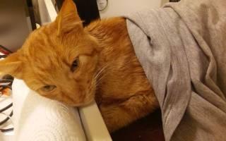 ФИП (FIP) у кошек: что это такое, симптомы и диагностика, возможность лечения и профилактика