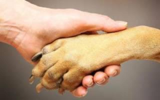 Пальцы у собак: сколько их на лапе, функциональность, возможные аномалии развития