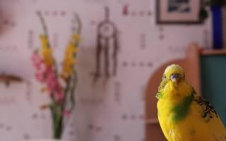 Понос у волнистого попугая: что делать, причины и лечение в домашних условиях