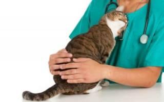 Гипертрофическая кардиомоипатии (ГКМП) у кошек: симптомы и лечение, осложнения и профилактика