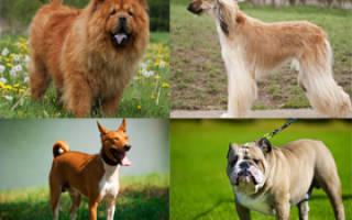 10 самых глупых пород собак в мире: фото и описание