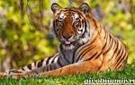 Бенгальский тигр: описание, образ жизни и питание, характер и размножение