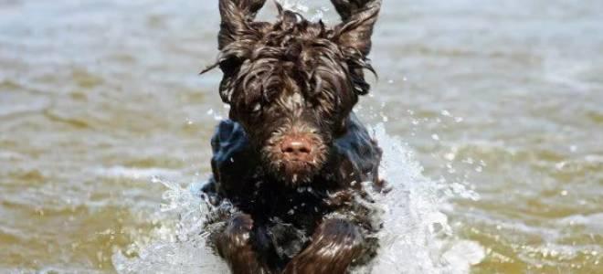 Португальская водяная собака: описание породы и стоимость щенков