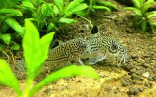 8 видов аквариумных сомиков: разновидности, чем кормить, как размножаются