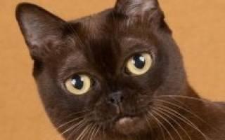 Бурманская кошка: описание породы и характера, 5 разновидностей