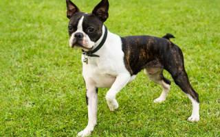 Бостон Терьер: описание и характеристики породы, цены на щенков