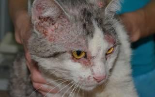Демодекоз у кошек: симптомы и лечение в домашних условиях, уход за животным и профилактика