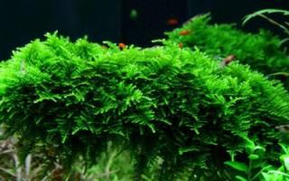 Яванский мох: содержание в аквариуме, как закрепить, виды