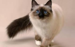 Колор пойнт: особенности окраса у разных пород кошек, вариации