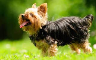 Роды йорка или йоркширского терьера: сколько длится беременность, как принять роды и как ухаживать за щенками