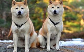 Японская хаски: характеристика и описание породы собак, содержание и уход, разведение