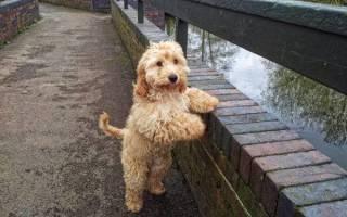 Кокер пудель кокапу: описание породы, характеристика и стоимость щенка