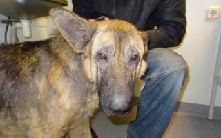 Саркоптоз или чесотка у собак: симптомы и лечение, диагностика и профилактика в домашних условиях