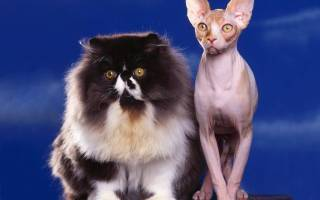 Кошки: как определить породу по глазам, окрасу, телосложению и характеру