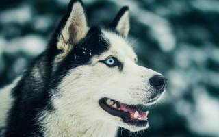 12 расцветок хаски: белая с голубыми глазами, рыжая, коричневая, агути, шоколадный, коричневая, черная