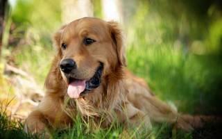 10 самых красивых пород собак в мире: фото, описание и стоимость щенков
