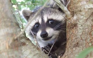 Енот: описание и породы животного, содержание и уход в домашних условиях