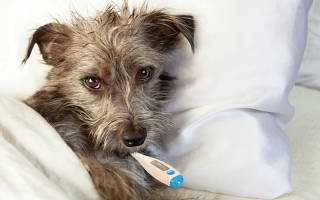 Парвовирусный энтерит у собак: симптомы и лечение, клинические признаки