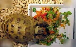 Уход за сухопутной черепахой, содержание в домашних условиях