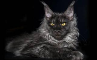Отодектоз у кошек: симптомы и лечение препаратами в домашних условиях, что это такое