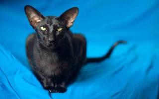 Ориентальная кошка: описание породы и особенности, виды