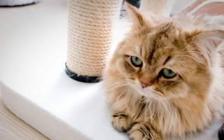 Гангренозный стоматит у кошек: симптомы и лечение в домашних условиях