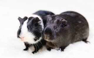 15 болезней морских свинок: причины, симптомы и лечение, чем можно заразиться