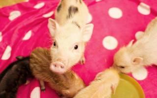 Микро пиги: описание и характеристика, виды домашних свинок, сколько живут и стоит ли заводить в квартире