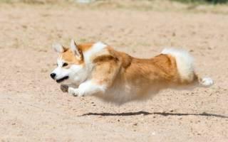 9 популярных пород собак с короткими лапами: описание и характер