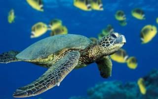 Зеленая морская черепаха: описание и характеристика, питание и условия содержания в неволе