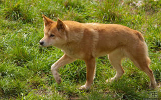 Собака Динго: описание дикой австралийской породы, стоимость щенка