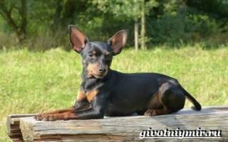 Пражский крысарик: описание породы собак, стоимость в питомниках
