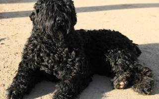 Русский черный терьер (собака Сталина): описание породы и стоимость щенков