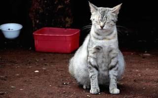 5 причин, почему у кота раздут живот и что делать: переедание, запор, болезни, газы, глисты