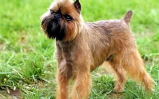 3 разновидности породы собак гриффон: описание, характеристика, правила содержания и ухода, здоровье и разведение