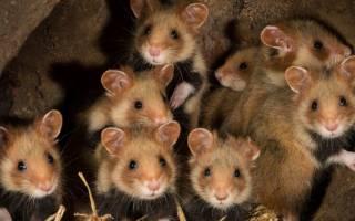 Дикий лесной хомяк карбыш: описание и методы борьбы с грызуном