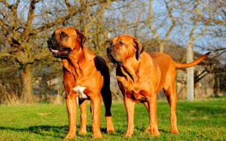 Тоса ину или японский мастиф: описание породы собак, сколько стоит щенок