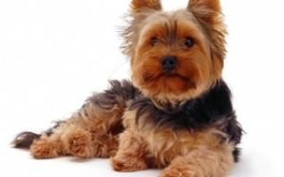 Йоркширский терьер: описание породы, история, характер, стоимость щенков
