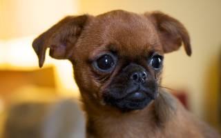 Пти брабансон (грифон): описание породы и характер собаки, содержание и уход