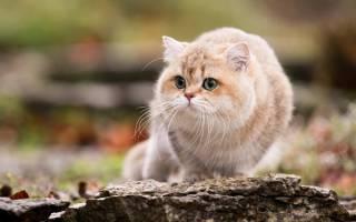 Британская короткошерстная кошка: описание породы, характеристика, окрасы, прививки, беременность
