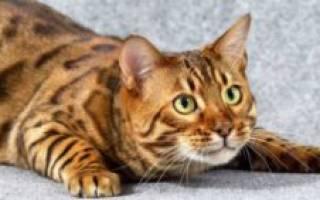 Кот не ест не пьет и у него пропал аппетит: что делать, лечение, причины