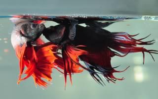 Рыбка петушок: уход и содержание в аквариуме, кормление и размножение в домашних условиях